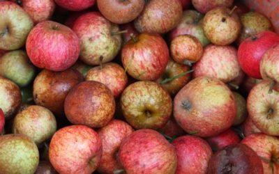 Pressage de pommes et poires